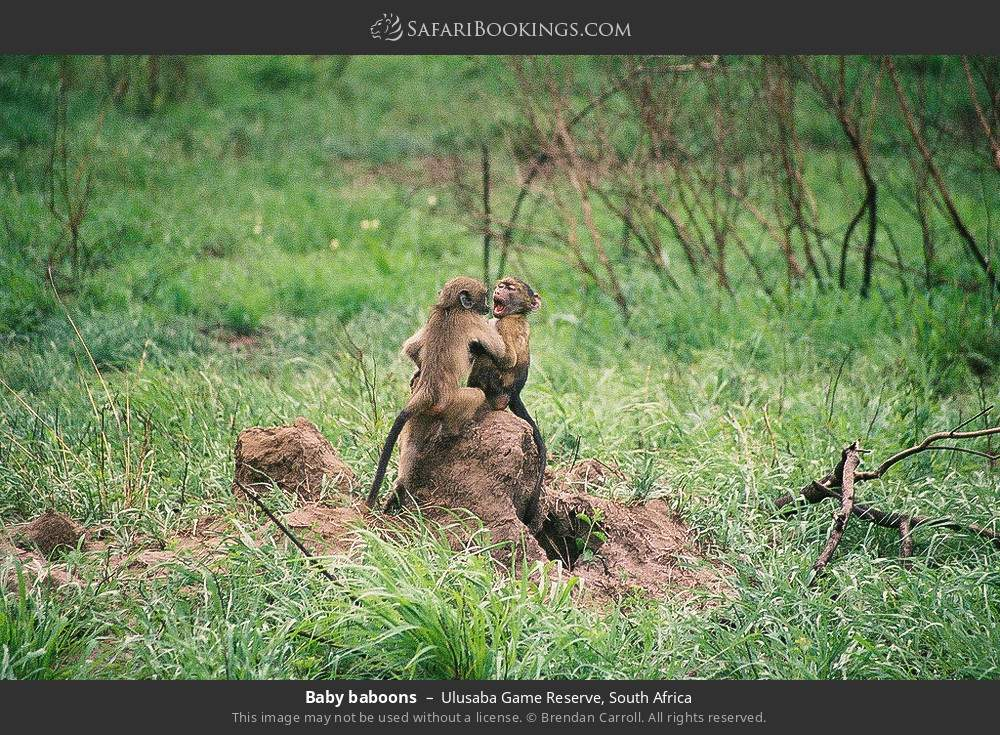 Baby baboons in Ulusaba Game Reserve, South Africa