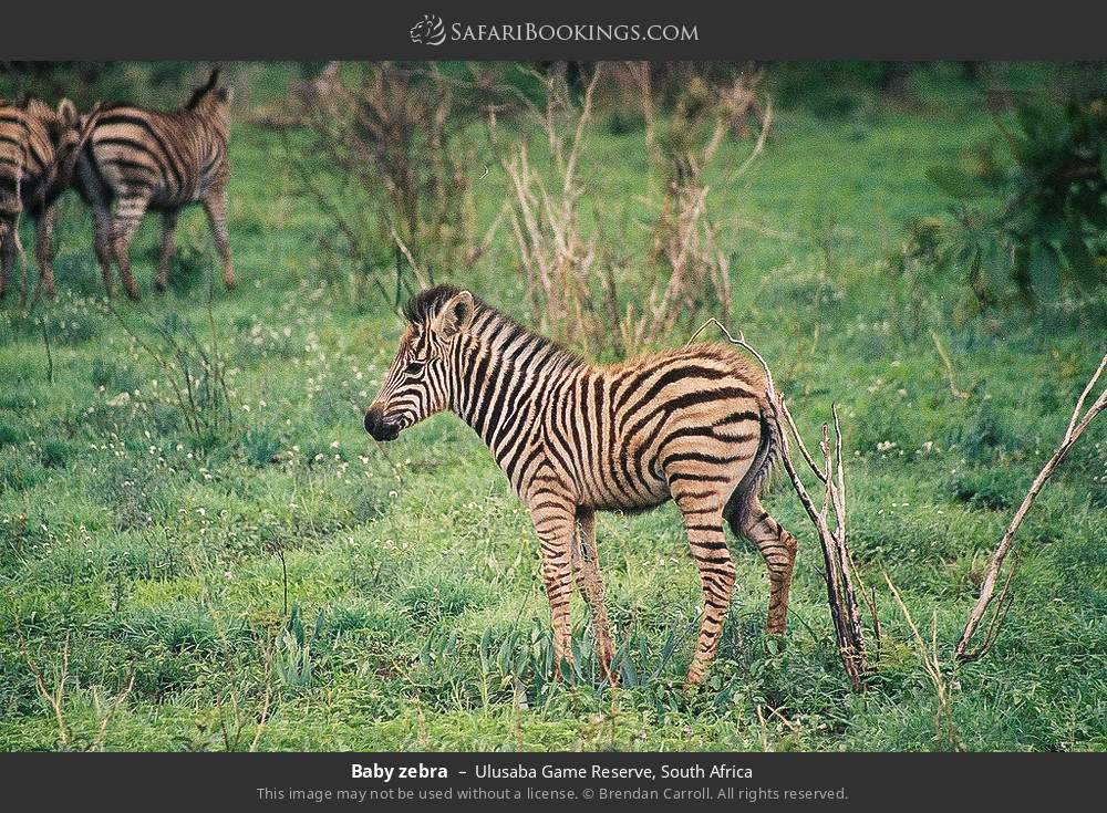 Baby zebra in Ulusaba Game Reserve, South Africa