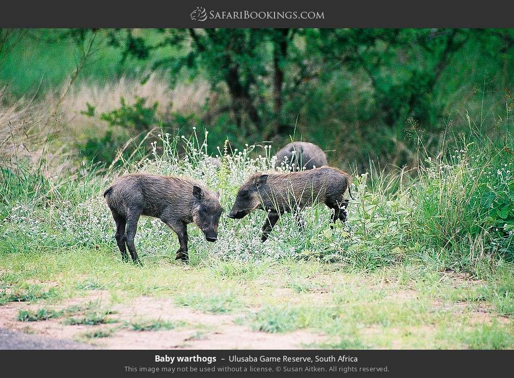 Baby warthogs in Ulusaba Game Reserve, South Africa