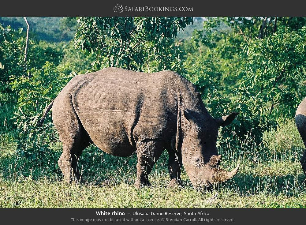 White rhino in Ulusaba Game Reserve, South Africa