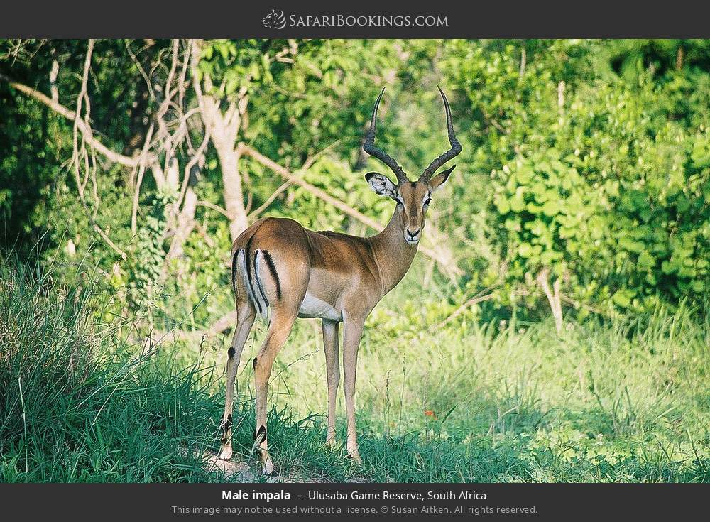 Male impala in Ulusaba Game Reserve, South Africa