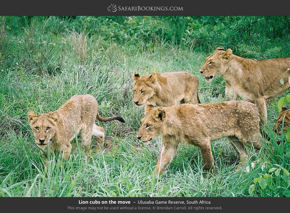 Lion cubs on the move in Ulusaba Game Reserve, South Africa