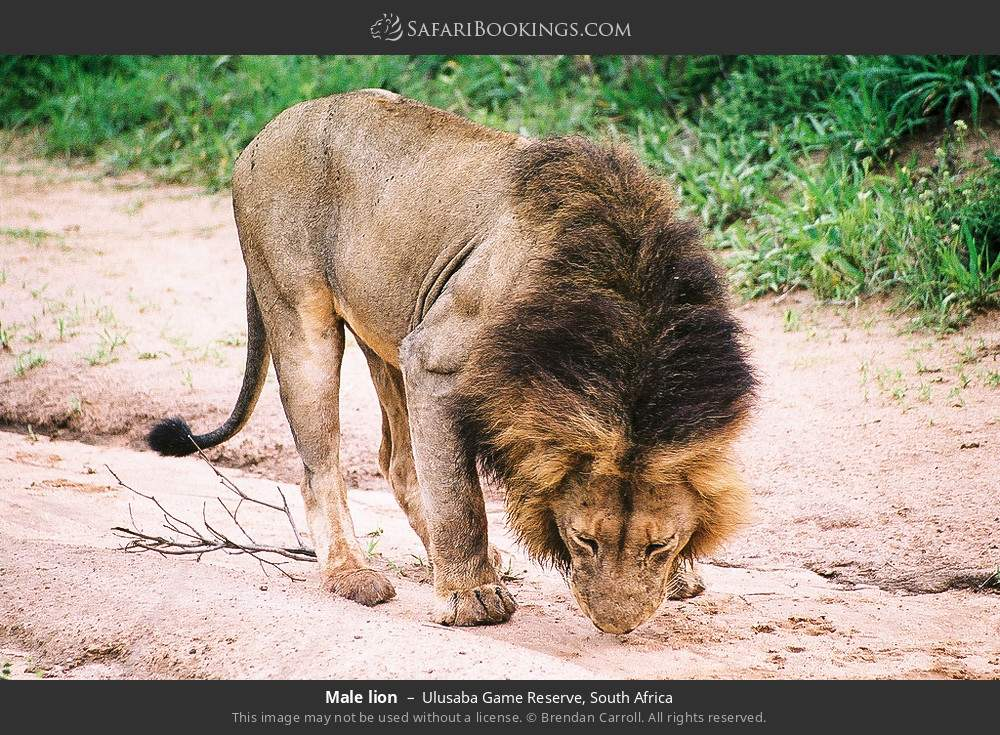 Male lion in Ulusaba Game Reserve, South Africa