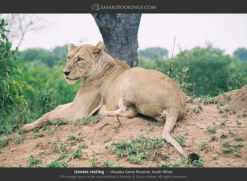 Lioness resting in Ulusaba Game Reserve, South Africa