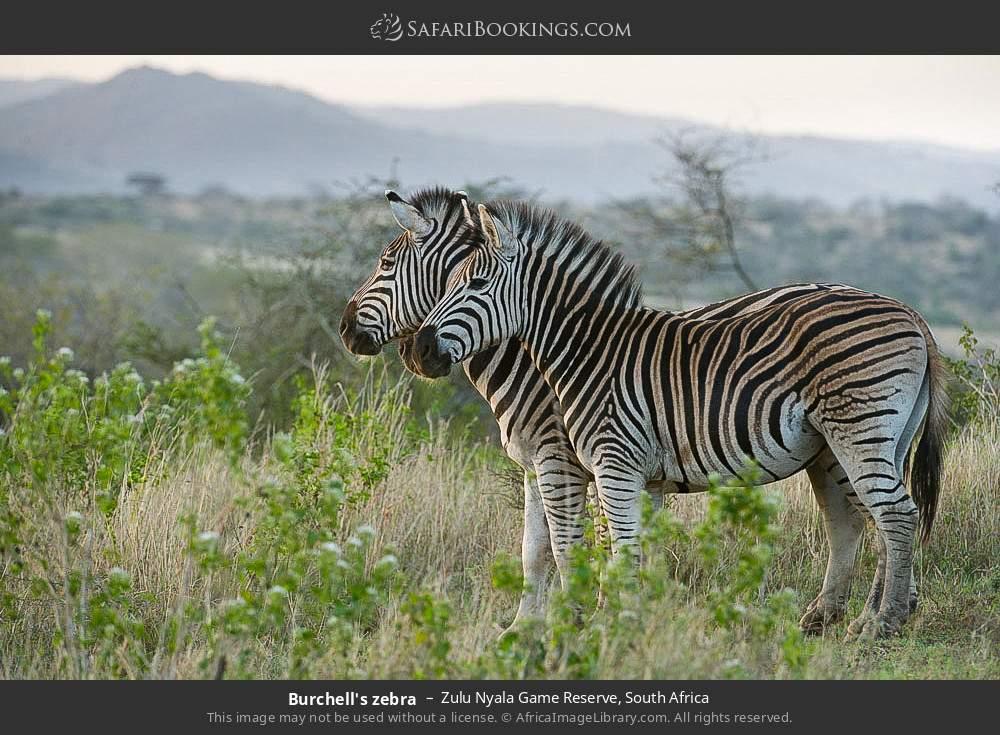 Burcehll's zebra in Zulu Nyala Game Reserve, South Africa