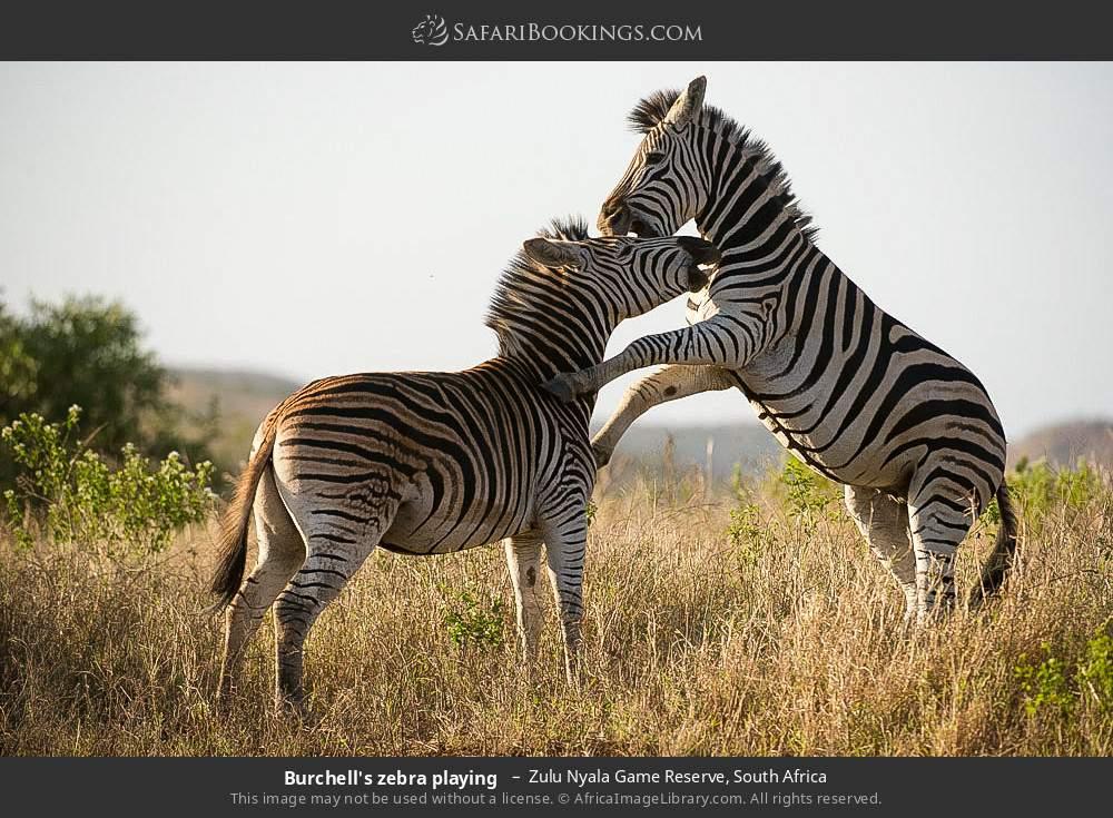 Burchell's zebra playing  in Zulu Nyala Game Reserve, South Africa