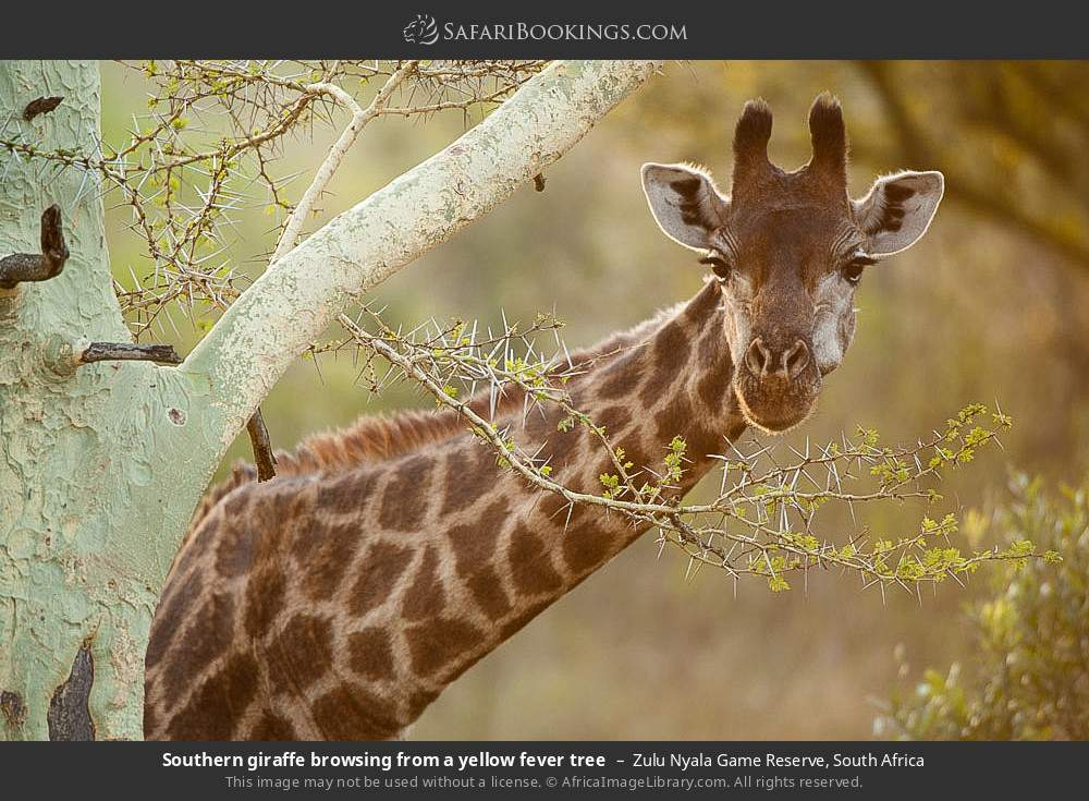 Southern giraffe browsing from a yellow fever tree in Zulu Nyala Game Reserve, South Africa