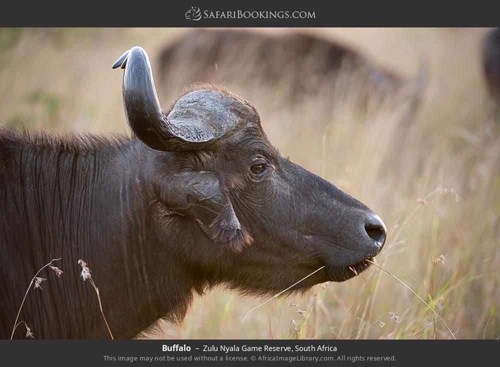 Buffalo in Zulu Nyala Game Reserve, South Africa