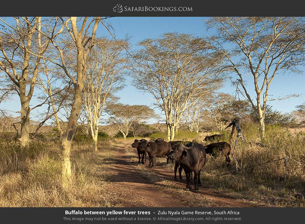 Buffalo between yellow fever trees in Zulu Nyala Game Reserve, South Africa