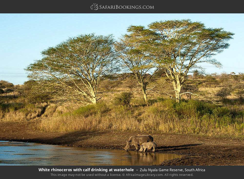 White rhinoceros with calf drinking at waterhole in Zulu Nyala Game Reserve, South Africa