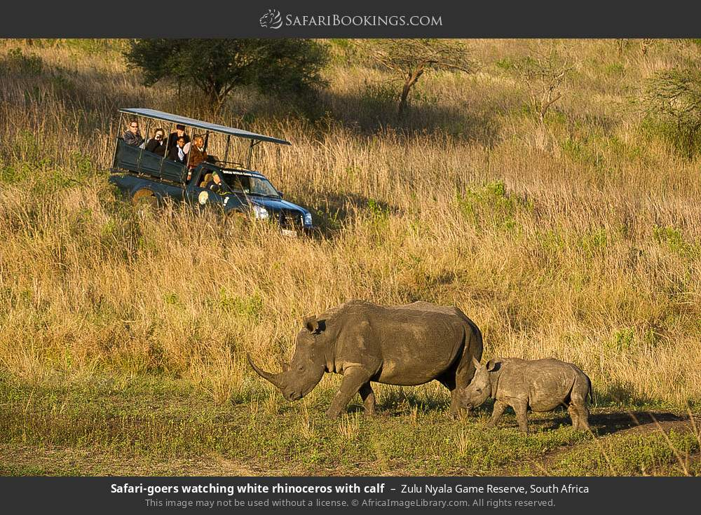 Tourists watching white rhinoceros with calf in Zulu Nyala Game Reserve, South Africa