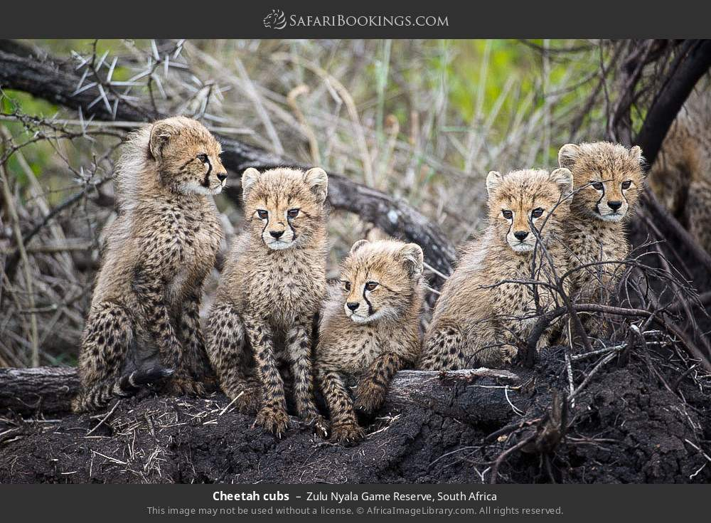 Cheetah cubs in Zulu Nyala Game Reserve, South Africa