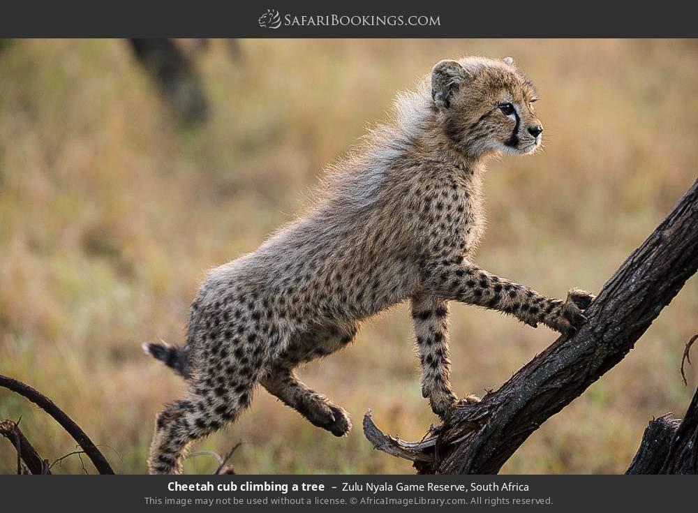 Cheetah cub climbing a tree in Zulu Nyala Game Reserve, South Africa