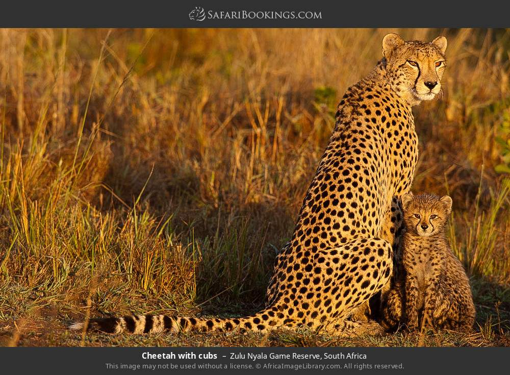 Cheetah with cubs in Zulu Nyala Game Reserve, South Africa