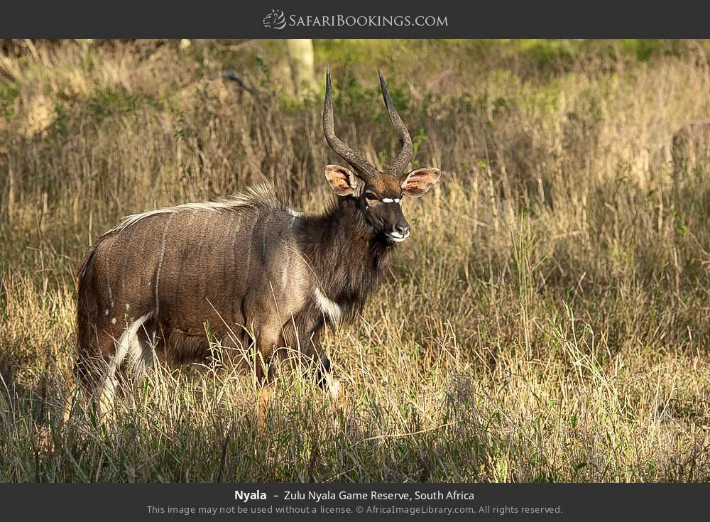 Nyala in Zulu Nyala Game Reserve, South Africa