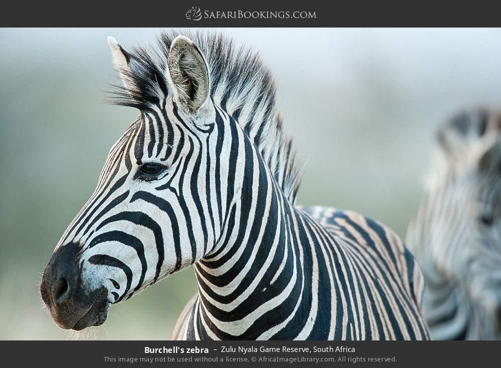 Burchell's zebra in Zulu Nyala Game Reserve, South Africa