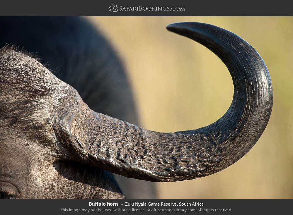 Buffalo horn in Zulu Nyala Game Reserve, South Africa
