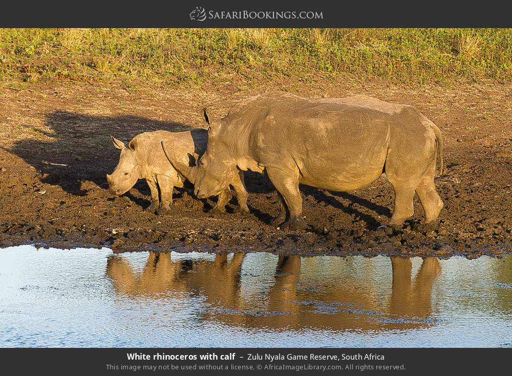 White rhinoceros with calf in Zulu Nyala Game Reserve, South Africa