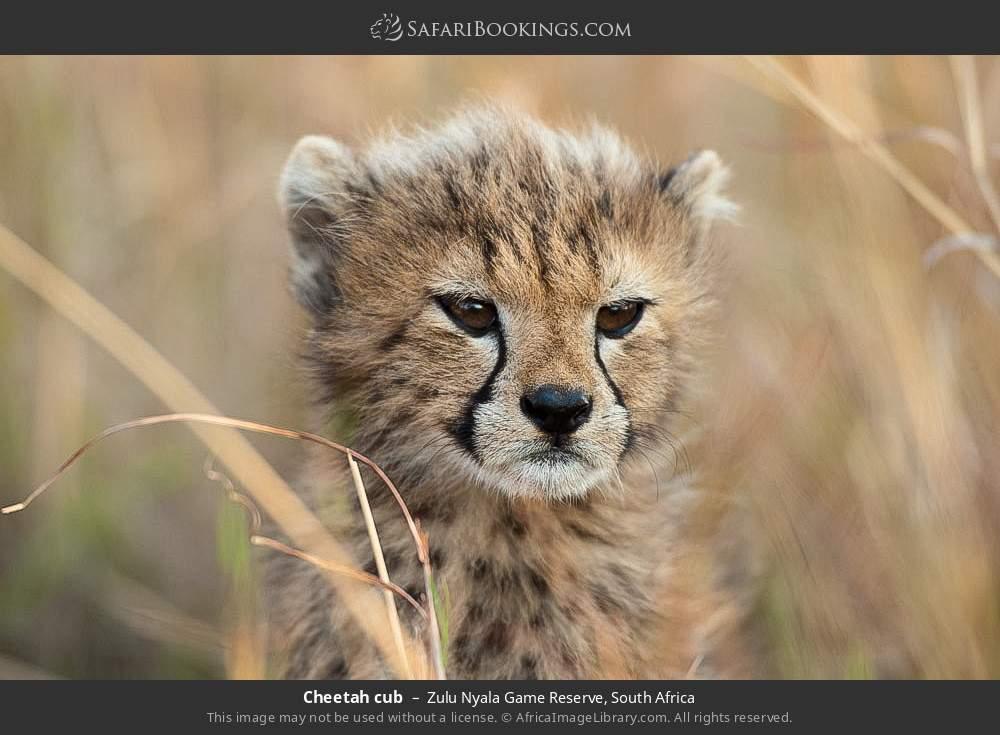 Cheetah cub in Zulu Nyala Game Reserve, South Africa