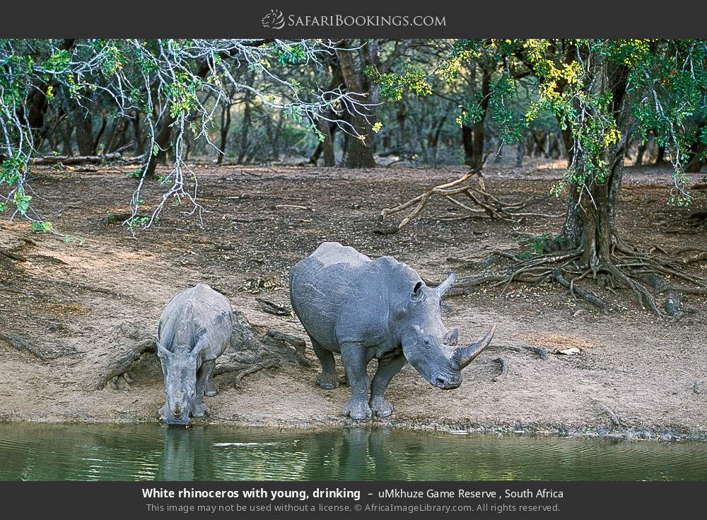White rhinoceros with young, drinking in uMkhuze Game Reserve, South Africa