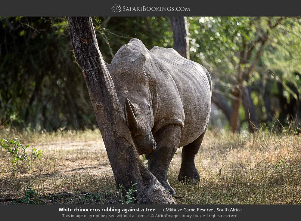 White rhinoceros rubbing against a tree in uMkhuze Game Reserve, South Africa