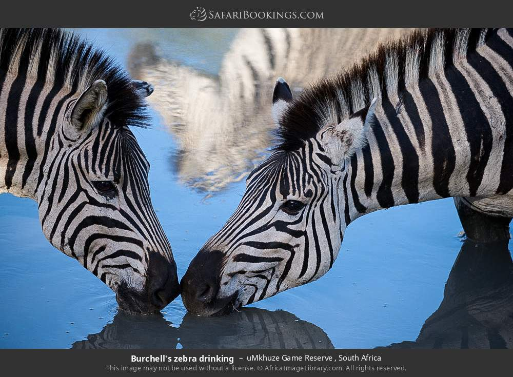 Burchell's zebra drinking in uMkhuze Game Reserve, South Africa