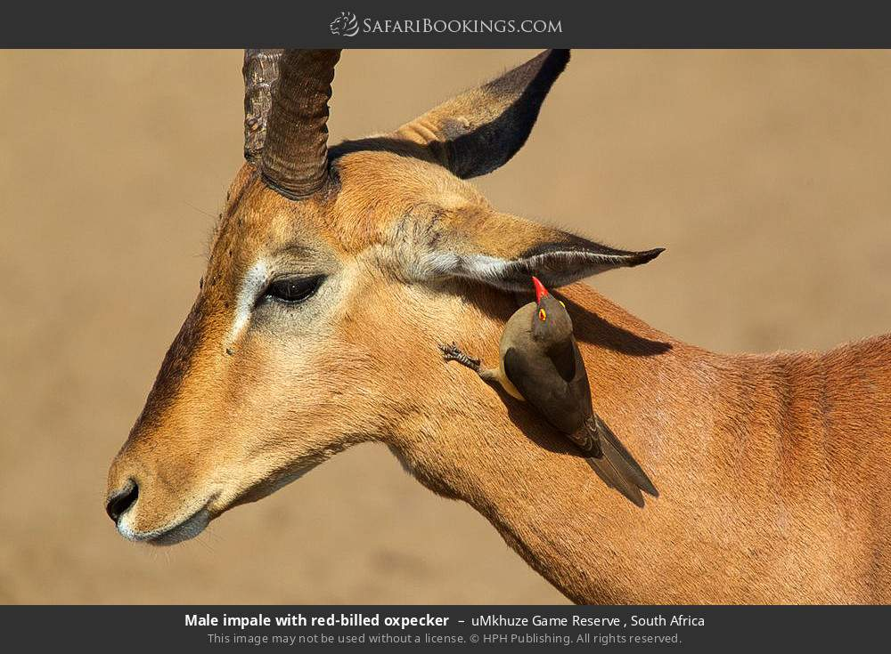 Male impala with red-billed oxpecker in uMkhuze Game Reserve, South Africa