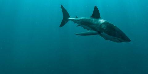 ½-Day Cape Town-Sharks Cage Diving