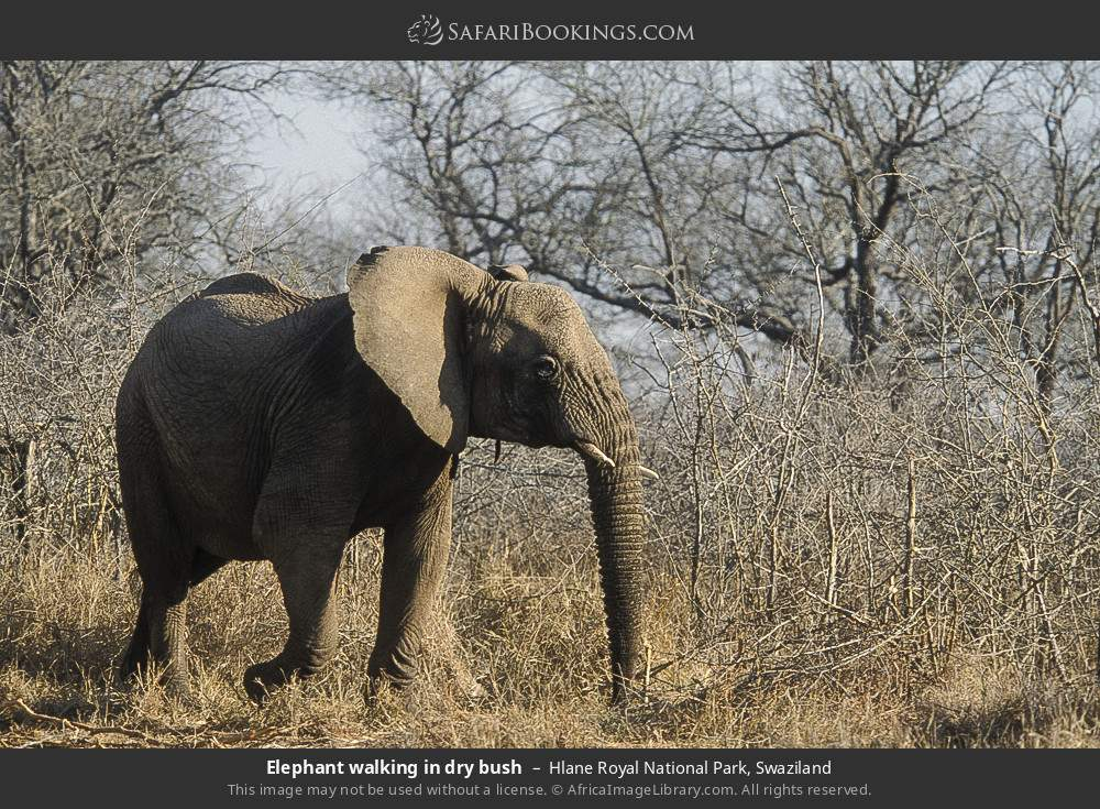Elephant walking in dry bush in Hlane Royal National Park, Swaziland