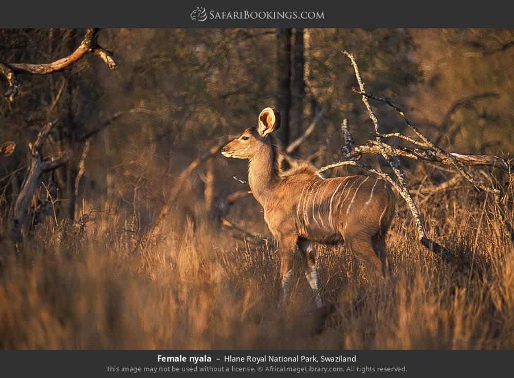Female nyala in Hlane Royal National Park, Swaziland