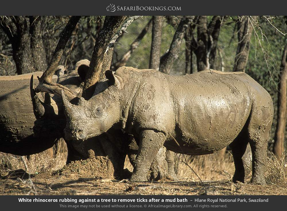 White rhinoceros rubbing agains a tree to remove ticks after a mud bath in Hlane Royal National Park, Swaziland