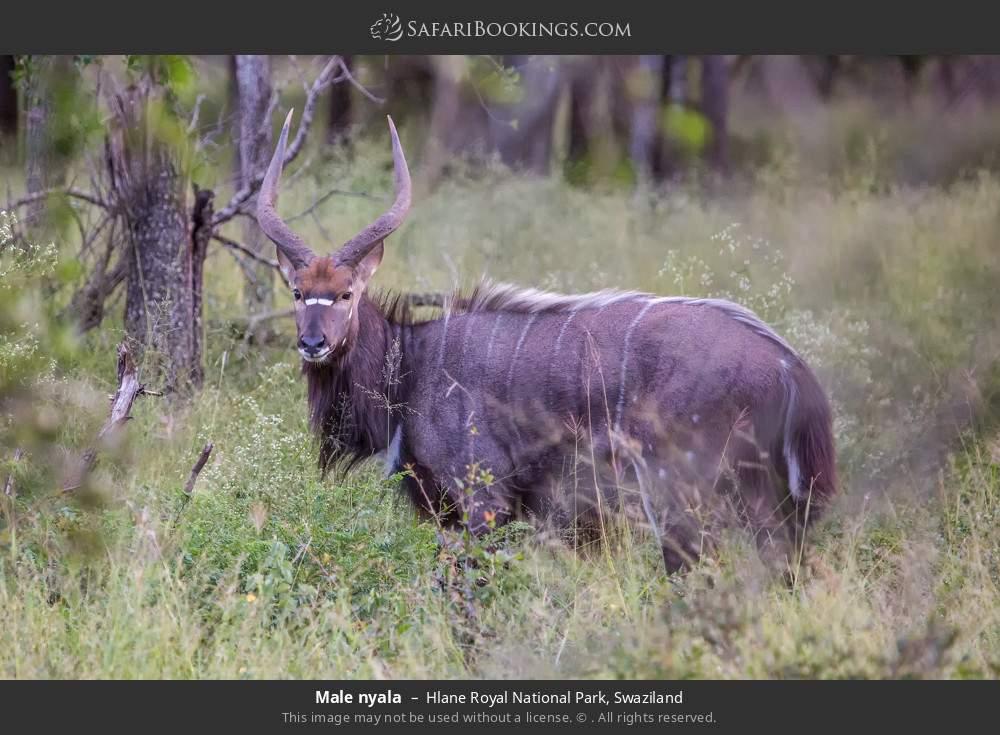 Male nyala in Hlane Royal National Park, Swaziland