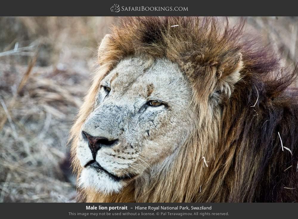 Male lion portrait in Hlane Royal National Park, Swaziland