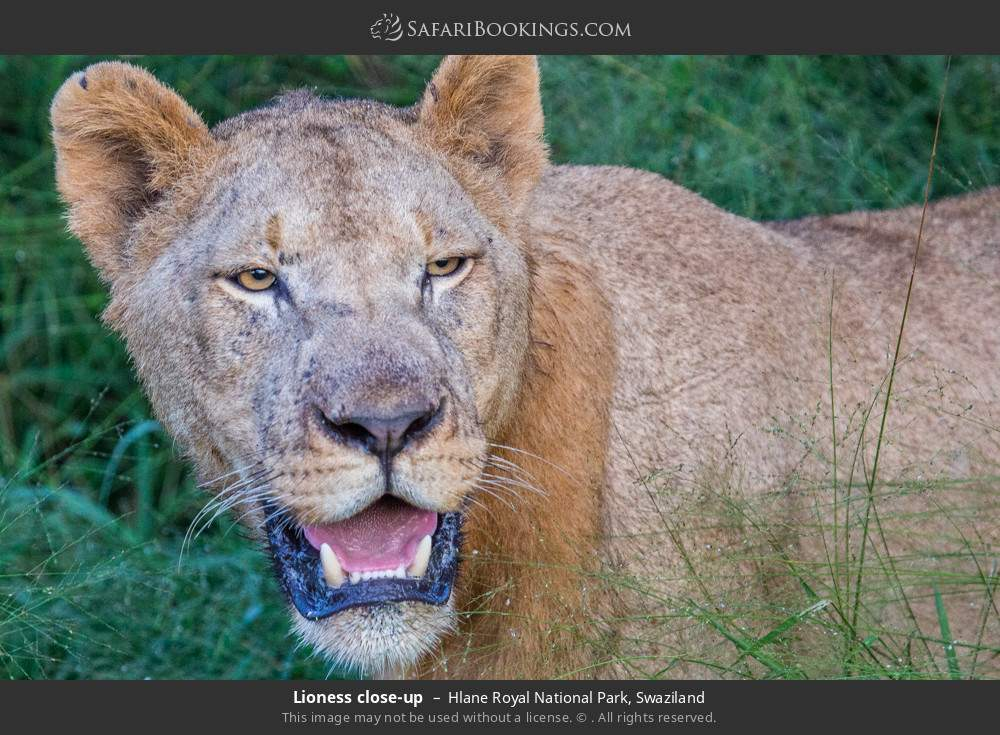 Lioness close-up in Hlane Royal National Park, Swaziland