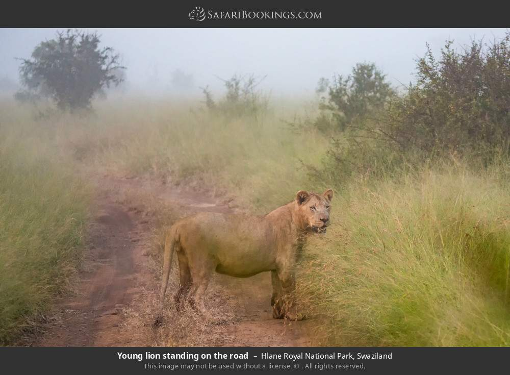 Young lion standing on the road in Hlane Royal National Park, Swaziland