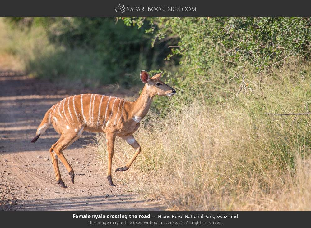 Female nyala crossing the road in Hlane Royal National Park, Swaziland