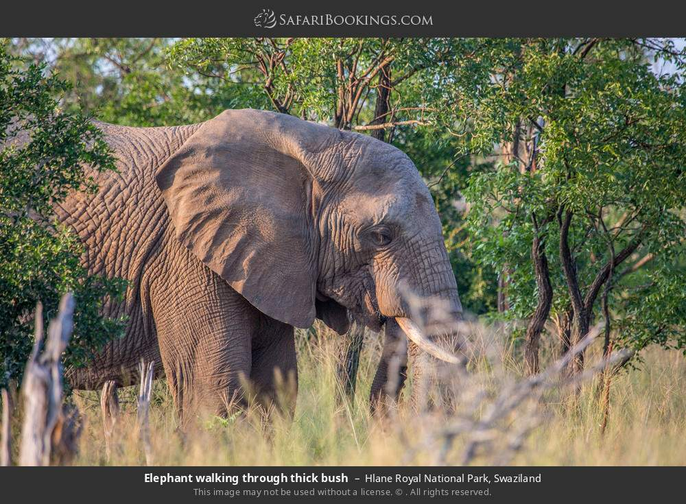 Elephant walking through thick bush in Hlane Royal National Park, Swaziland