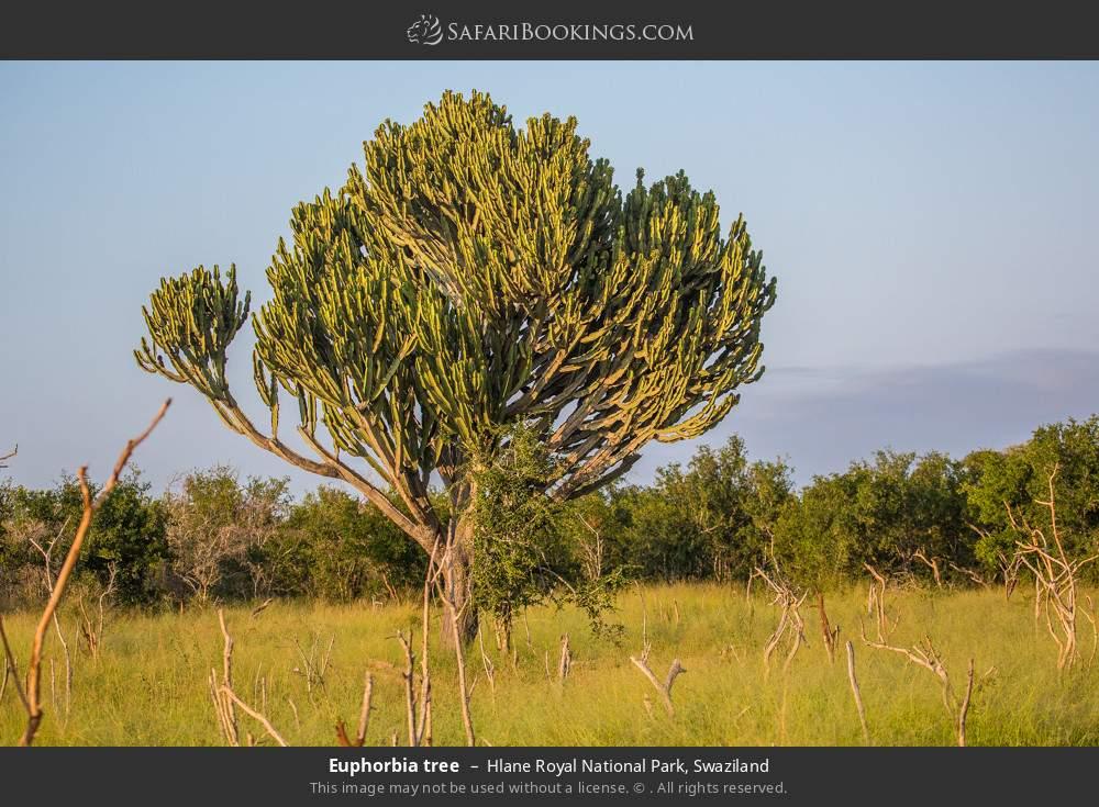 Euphorbia tree in Hlane Royal National Park, Swaziland