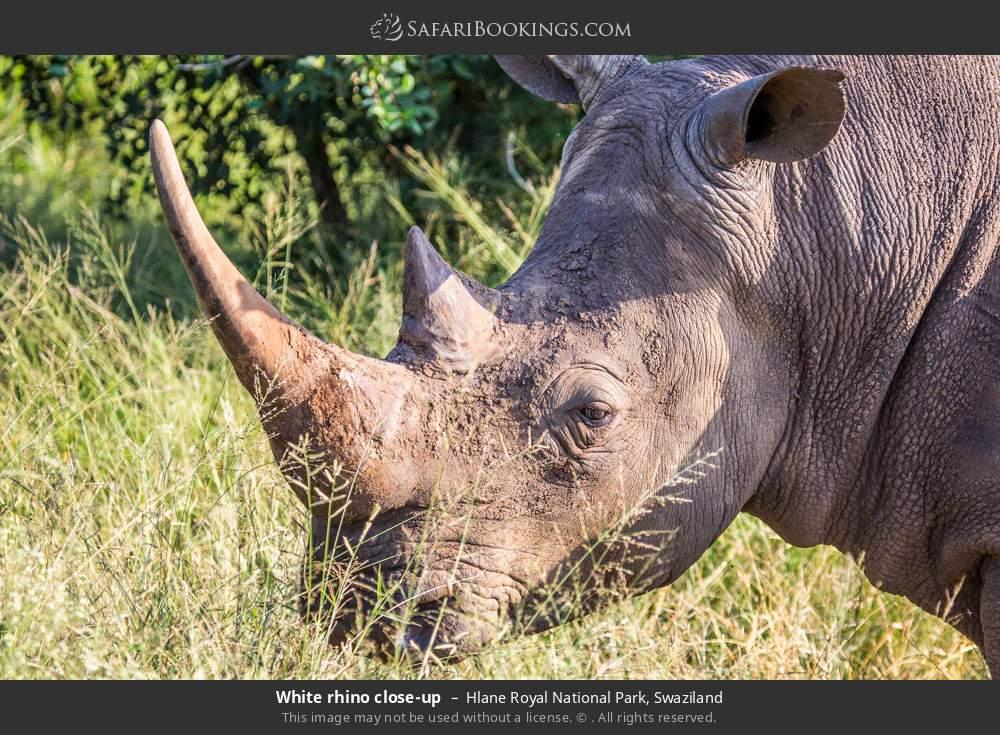 White rhino close-up in Hlane Royal National Park, Swaziland