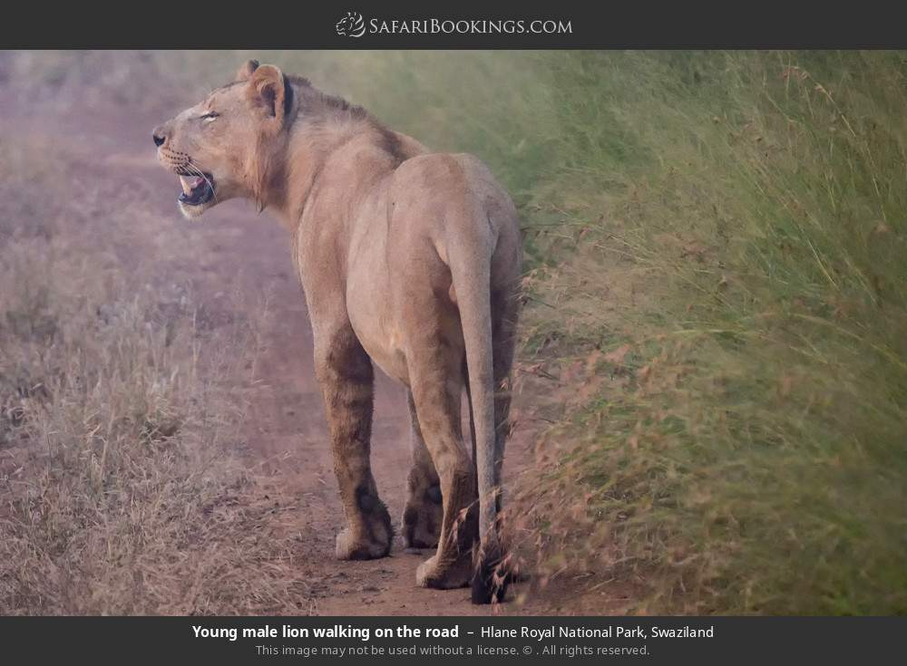 Young male lion walking on the road in Hlane Royal National Park, Swaziland