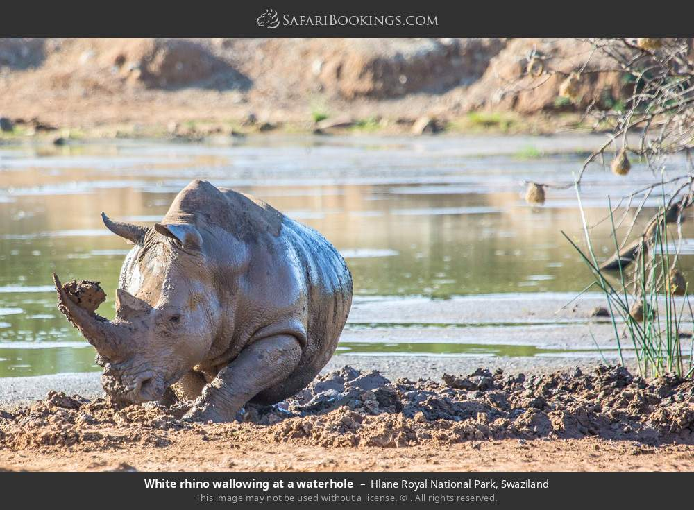 White rhino wallowing at a waterhole in Hlane Royal National Park, Swaziland