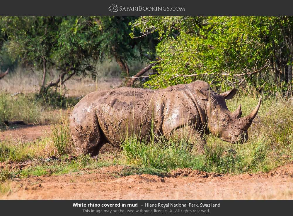 White rhino covered in mud in Hlane Royal National Park, Swaziland
