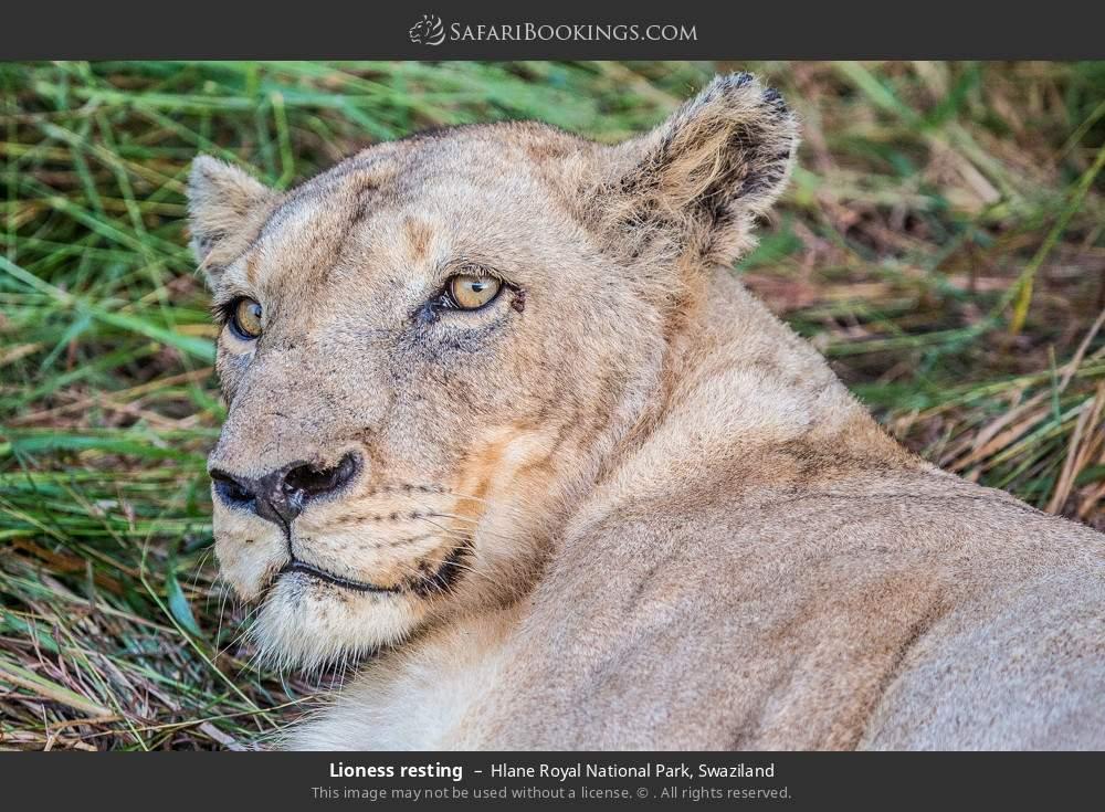 Lioness resting in Hlane Royal National Park, Swaziland