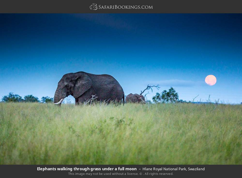 Elephants walking through grass under a full moon in Hlane Royal National Park, Swaziland