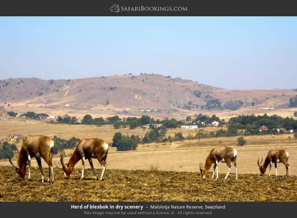 Herd of blesbok in dry scenery in Malolotja Nature Reserve, Swaziland