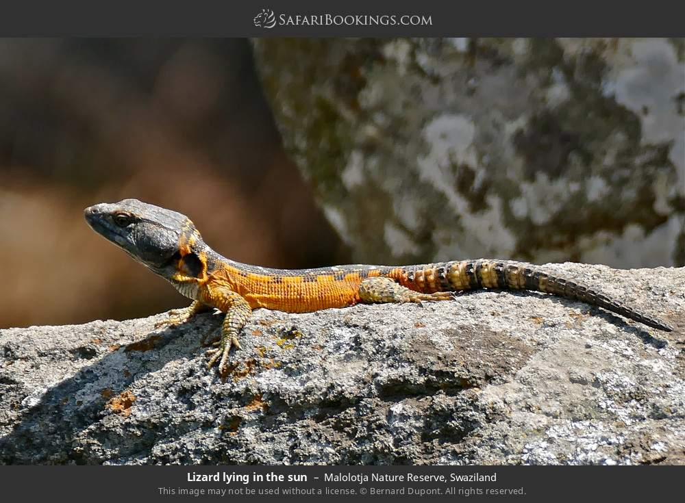 Lizard lying in the sun in Malolotja Nature Reserve, Swaziland