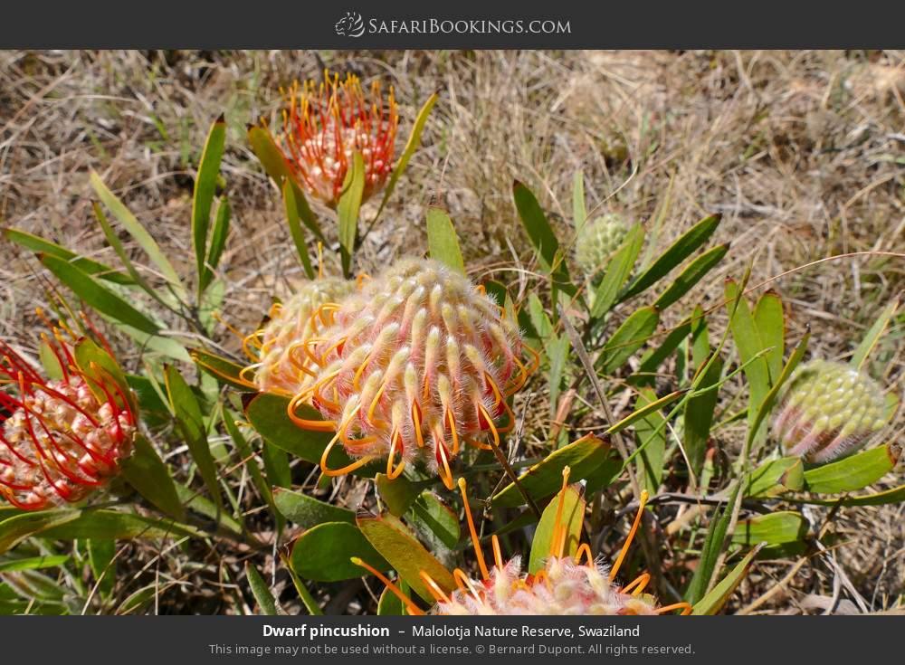 Dwarf pincushion in Malolotja Nature Reserve, Swaziland