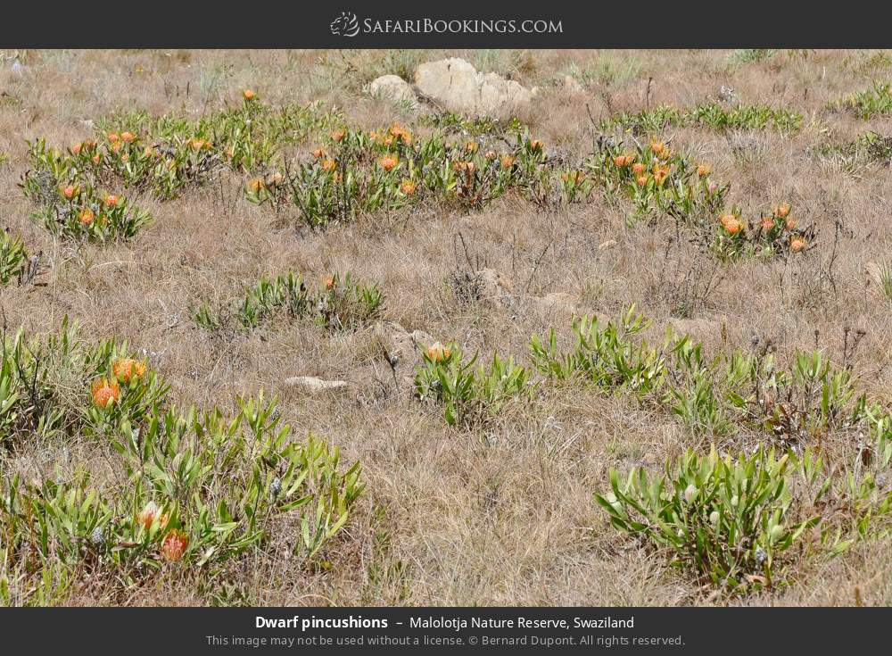 Dwarf pincushions in Malolotja Nature Reserve, Swaziland