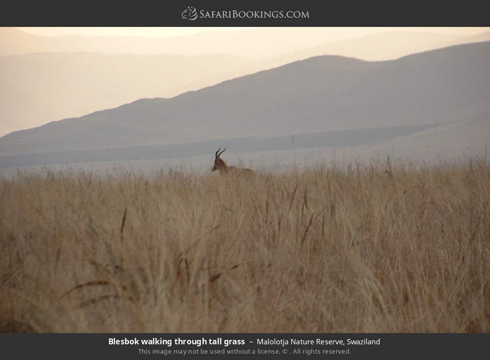 Blesbok walking through tall grass in Malolotja Nature Reserve, Swaziland