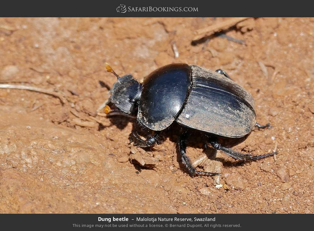 Dung beetle in Malolotja Nature Reserve, Swaziland